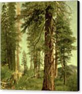 California Redwoods Canvas Print by Albert Bierstadt