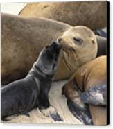California Sea Lion And Newborn Pup San Canvas Print by Suzi Eszterhas