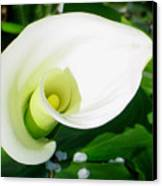 Calla Beauty Canvas Print