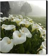 Calla Lilies Zantedeschia Aethiopica Canvas Print