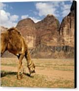 Camel Grazing In A Desert Landscape Canvas Print by Sami Sarkis