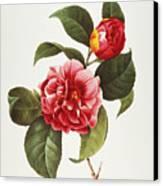 Camellia, 1833 Canvas Print