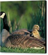 Canada Goose With Goslings Canvas Print by Alan and Sandy Carey and Photo Researchers