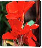 Canna Lily 'lucifer' Canvas Print by Adrian Thomas