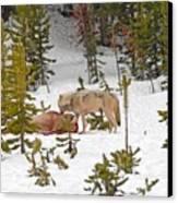 Canyon Wolf On Elk Kill Canvas Print