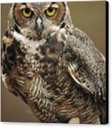 Captive Great Horned Owl, Bubo Canvas Print