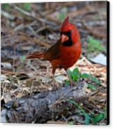 Cardinal In Charge Canvas Print by Julie Cameron