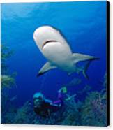 Caribbean Reef Shark Canvas Print by Dave Fleetham - Printscapes