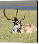 Caribou Rest Canvas Print