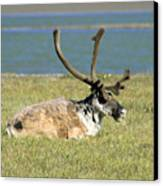 Caribou Resting Canvas Print