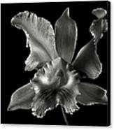 Catalea Orchid In Black And White Canvas Print by Endre Balogh