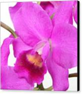 Cattleya Orchid Canvas Print