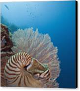 Chambered Nautilus Canvas Print by Dave Fleetham - Printscapes