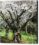 Cherry Blossom Tree Canvas Print by Pierre Leclerc Photography