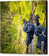 Chianti Grapes Canvas Print