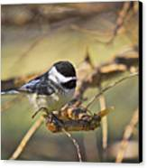Chickadee-11 Canvas Print by Robert Pearson