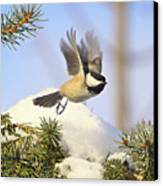 Chickadee-13 Canvas Print by Robert Pearson