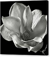 Chinese Magnolia Canvas Print