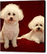 Chloe And Jolie The Bichon Frises Canvas Print by Michael Ledray