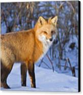 Christmas Fox Canvas Print by Mircea Costina Photography