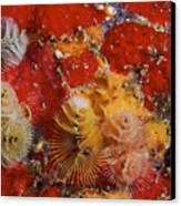 Christmas Tree Worms, Bonaire Canvas Print