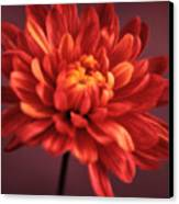 Chrysanthemum 7 Canvas Print