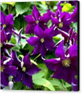 Clematis Flowers Canvas Print by Corey Ford