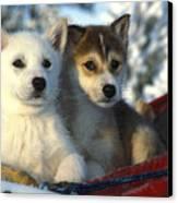 Close Up Of Siberian Husky Puppies Canvas Print