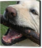 Close View Of A Yellow Lab With Worn Canvas Print by Stacy Gold
