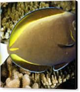 Closeup Of A Whitecheek Surgeonfish Canvas Print by Tim Laman
