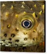 Closeup Of A Yellowspotted Burrfish Canvas Print by Tim Laman