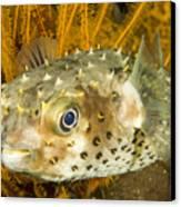 Closeupf Of A Yellowspotted Burrfish Canvas Print by Tim Laman