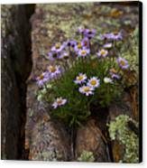 Clump Of Asters Canvas Print by Barbara Schultheis
