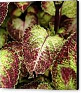 Coleus Plant Canvas Print