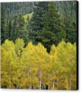 Colorado Golden Aspens Canvas Print