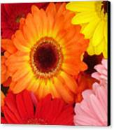 Colorful Gerber Daisies Canvas Print