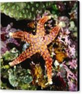 Colorful Seastar Laying On Cean Reef Canvas Print by James Forte