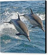 Common Dolphins Leaping Canvas Print by Tim Melling