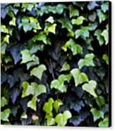 Common Ivy Canvas Print
