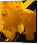 Contemporary Flower Artwork 10 Daffodil Flowers Evening Glow Canvas Print