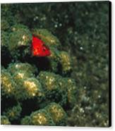 Coral Hawkfish Hiding In Coral Canvas Print by James Forte