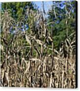 Corn Stalks Drying Canvas Print