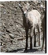 Couple Of Cuties- Baby Bighorn Canvas Print