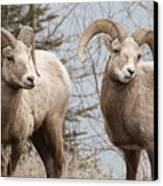 Couple Of Rams- Banff National Park Canvas Print