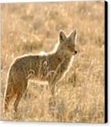 Coyote At Dawn Canvas Print