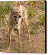 Coyote Caught In A Yawn Canvas Print