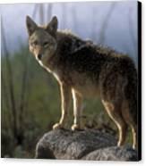 Coyote In Ocotillo Trees Canvas Print