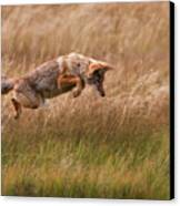 Coyote Leaping - Gibbon Meadows Canvas Print by Photo by DCDavis