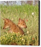 Coyote Pups Canvas Print