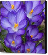 Crocuses Canvas Print by Tom McCarthy